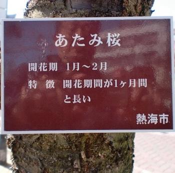 あたみ桜ー1.JPG