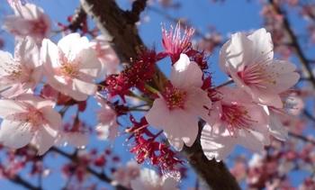 あたみ桜ー2.JPG