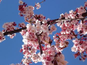 あたみ桜ー3.JPG