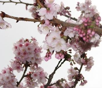 熱海桜 170108-3.JPG