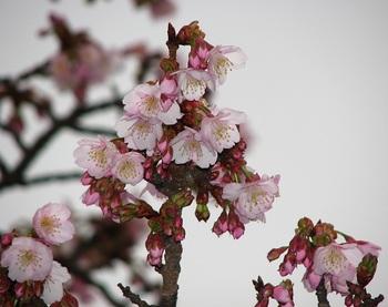 熱海桜 170108-1.JPG