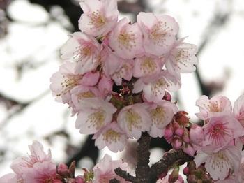 熱海桜 170108-2.JPG